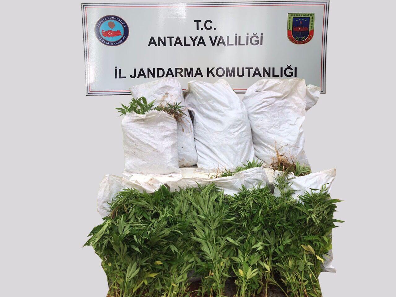 Manavgat'ta Hint keneviri yakalandı