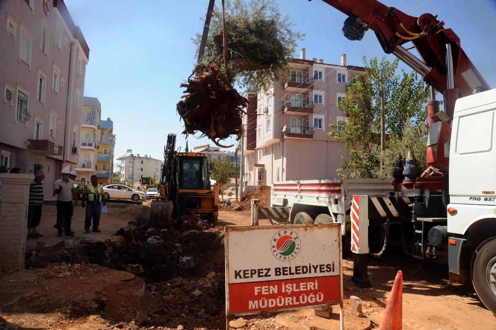 Asırlık zeytin ağaçları yeni yerlerine taşınıyor