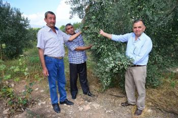 Kumluca'da zeytinler hasat bekliyor
