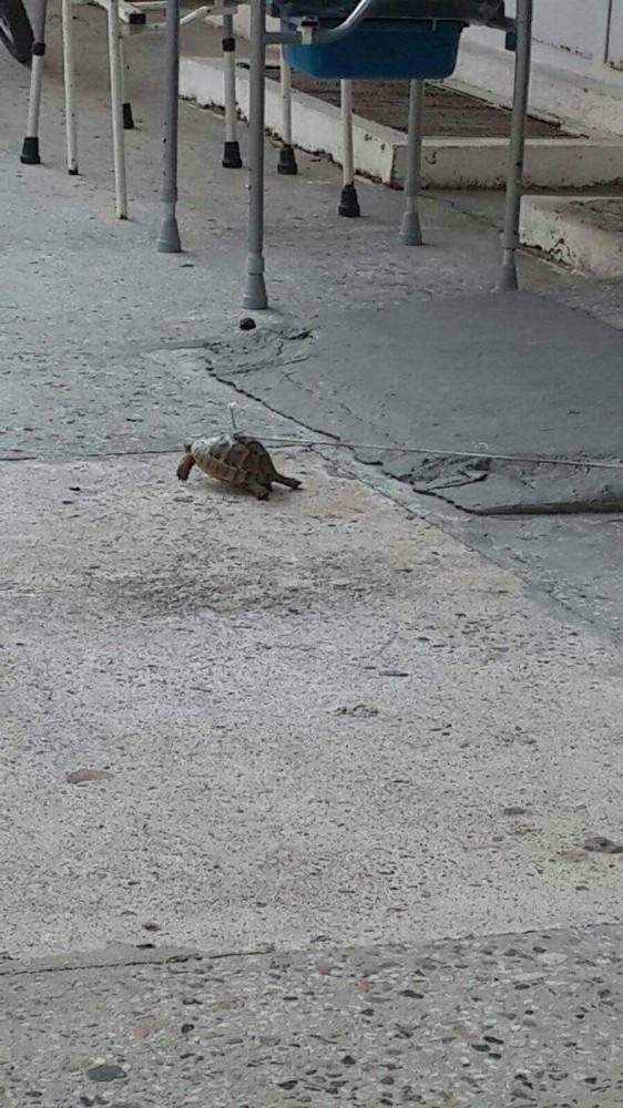 Kaplumbağanın kabuğundan iple bağlanması tepki çekti