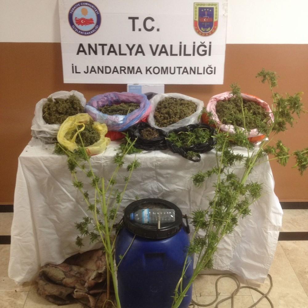 Avakado ağaçları üzerinde uyuşturucu ele geçirildi