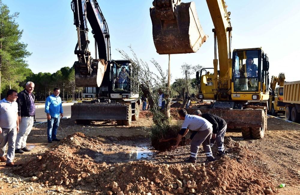 Kepez Belediyesi zeytin ağaçlarını korumaya aldı