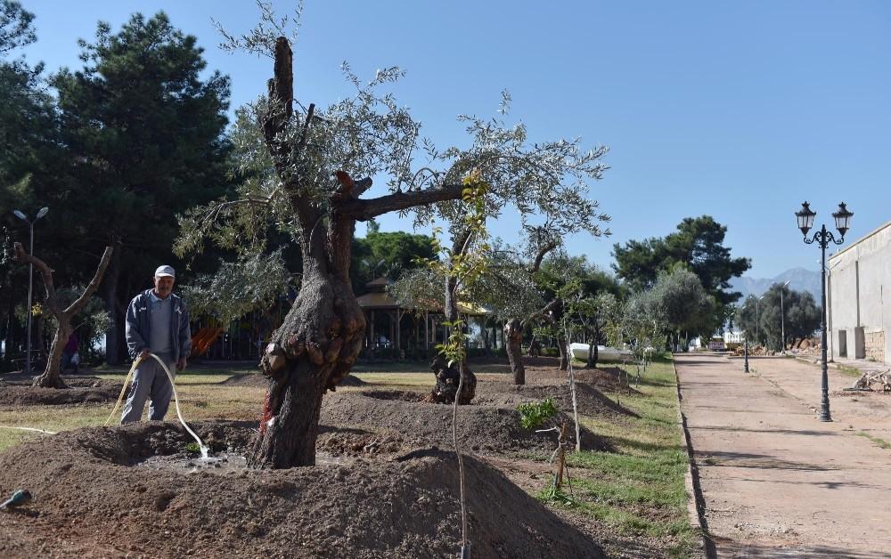 Kepez Belediyesinden park ve bulvarlara 100 zeytin ağacı