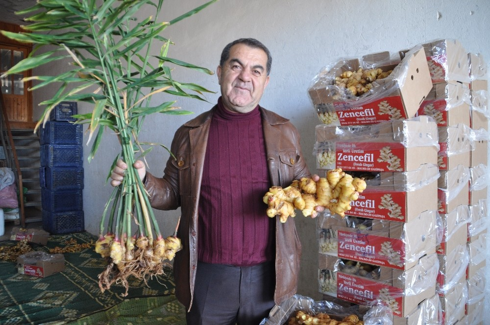 Gazipaşalı üretici Türkiye'nin ilk zencefil üretimini yaptı