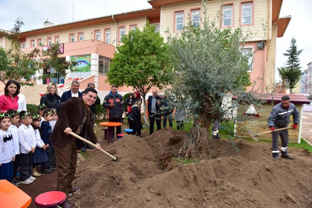 Anaokulu bahçesine asırlık zeytin ağacı