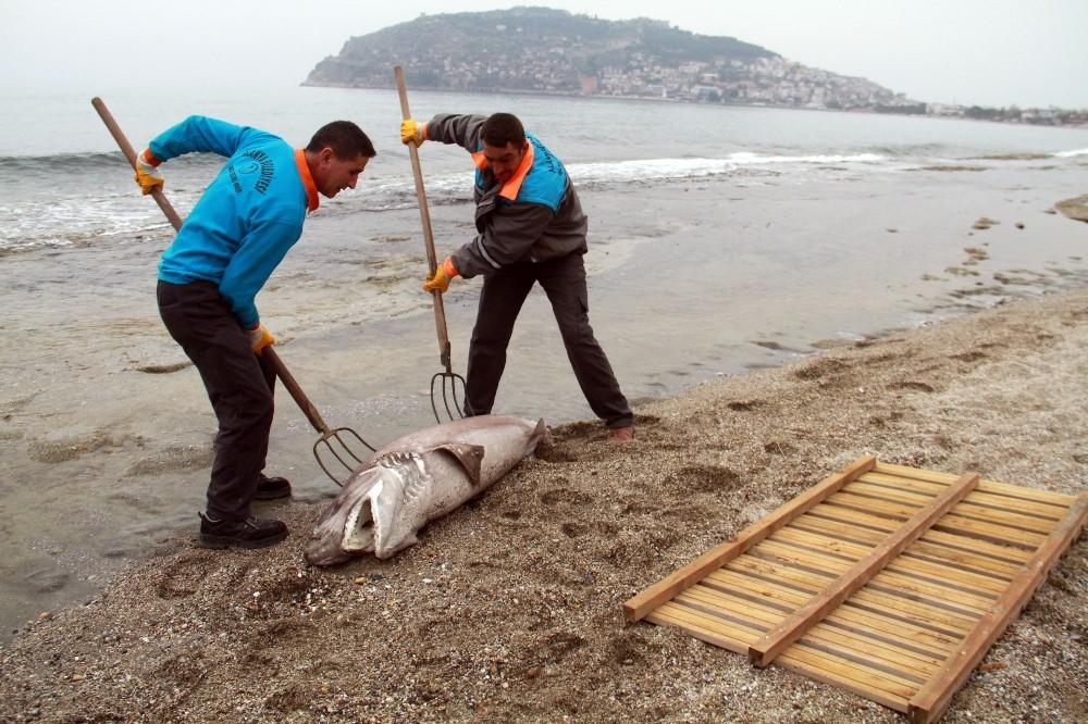 Alanya'da köpek balığı kıyıya vurdu