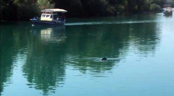 Akdeniz foku, Manavgat ırmağında