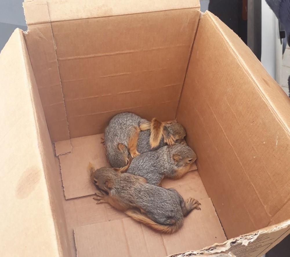 Anneleri ölen sincap yavrularına Bakanlık sahip çıktı