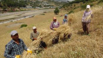 Antalya'da yılın ilk buğday hasadı başladı