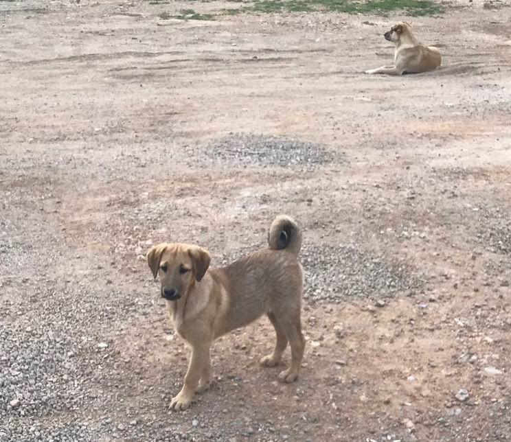 Kulağı kesilen köpeklere büyükşehirden yardım eli