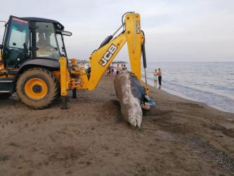 Plaja 4 metrelik balina ölüsü vurdu