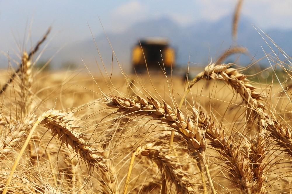 Türkiye'nin ilk buğday hasatı Antalya'da başladı