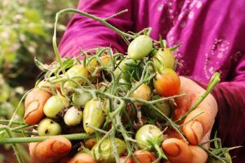 Antalya'da 'tuta' yüzünden binlerce ton domates çöpe gitti