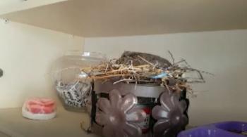 Kumrunun kedilerle dolu evde yuva yaptığı yer şaşırttı