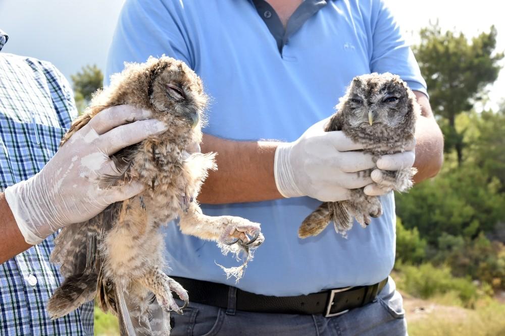 Alanya'da tedavileri tamamlanan baykuşlar doğaya salındı