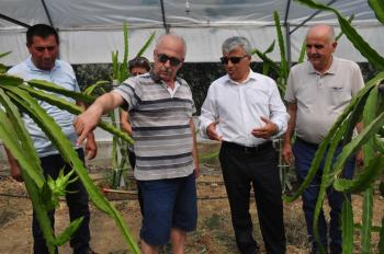 Ejder meyvesi pitaya Manavgat'ta yetiştirildi