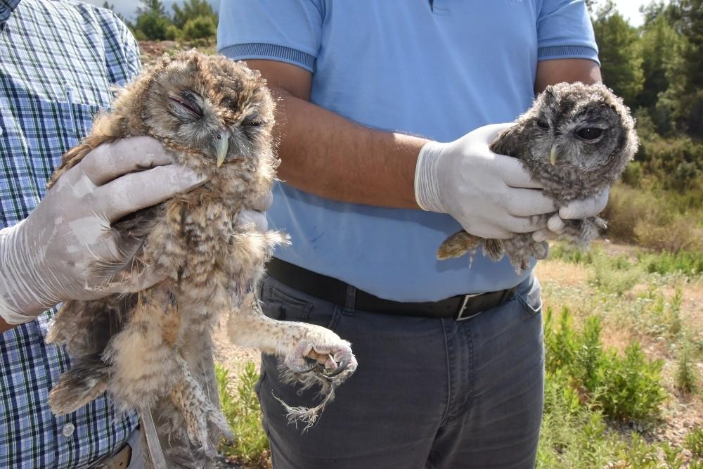Tedavileri tamamlanan 2 baykuş doğaya salındı