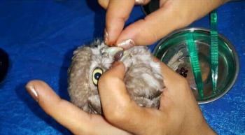 Yaralı baykuş yavrusuna hayvanseverden özel bakım