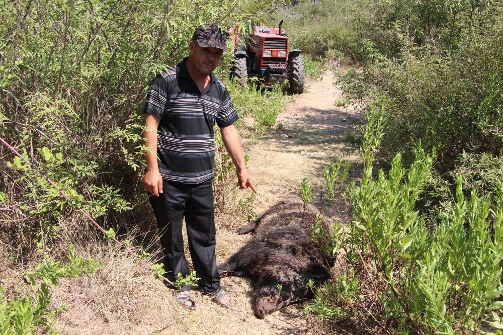 Köylülerin kabusu olan yaban domuzu 45 gün sonra etkisiz hale getirildi