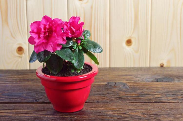 Hediye Almanın En Güzel Alternatifi: Saksı Çiçekleri