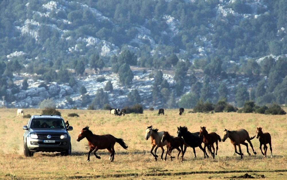 Yılkı atları geçen yıl gelen 25 bin turist sayısını, yılın bu ayında ikiye katladı