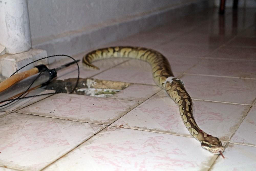 Antalya'da inanılmaz olay, balkondaki su giderinden Piton yılanı çıktı