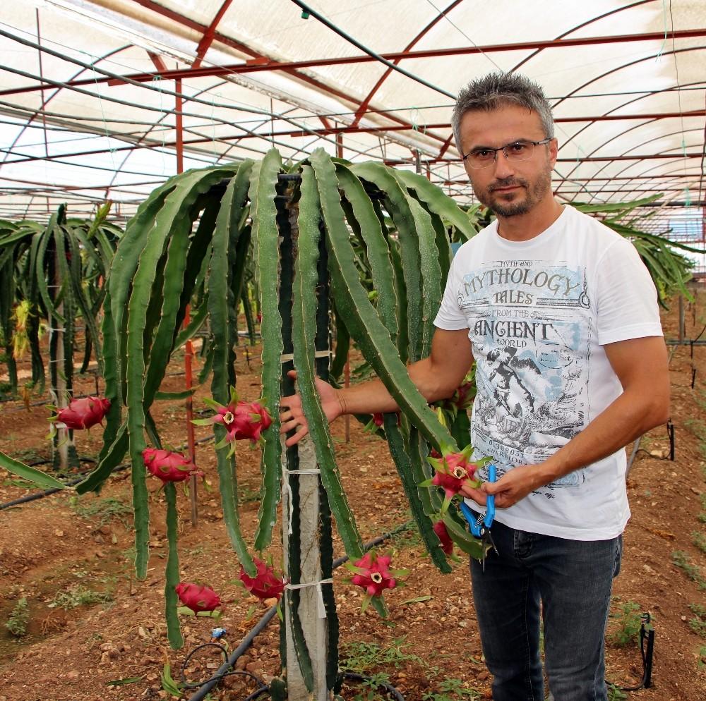 Domates ve biberin masrafından bıkıp kurtuluşu Pitaya meyvesinde buldu