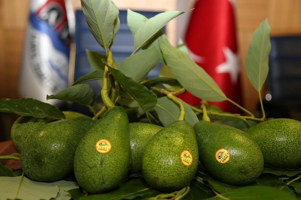Alanya'da avokado marka oldu
