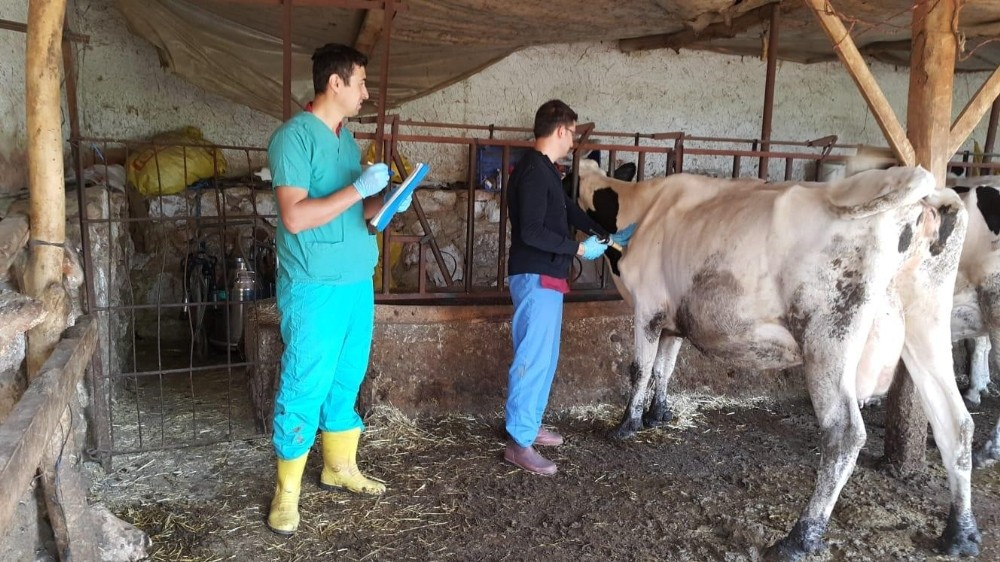 Antalya'da 42 bin 158 baş hayvan Şap hastalığına karşı aşılandı