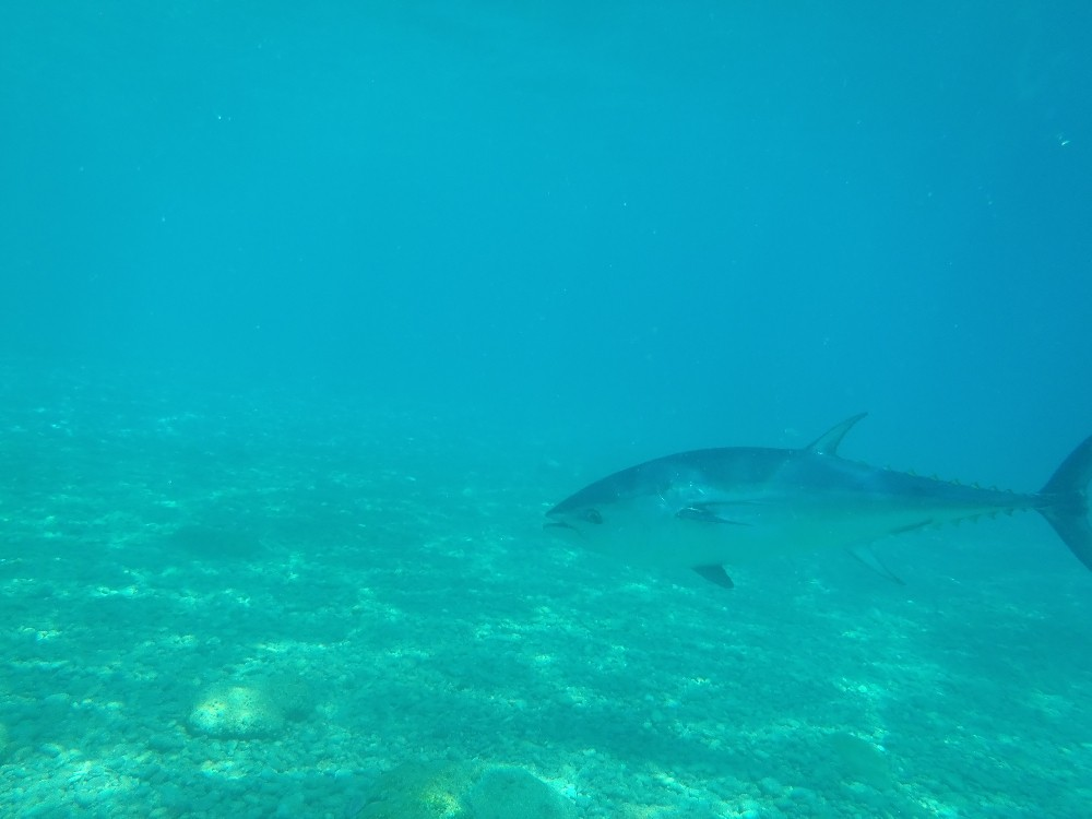 Antalya'da aslan balığı ve orkinos görüntülendi