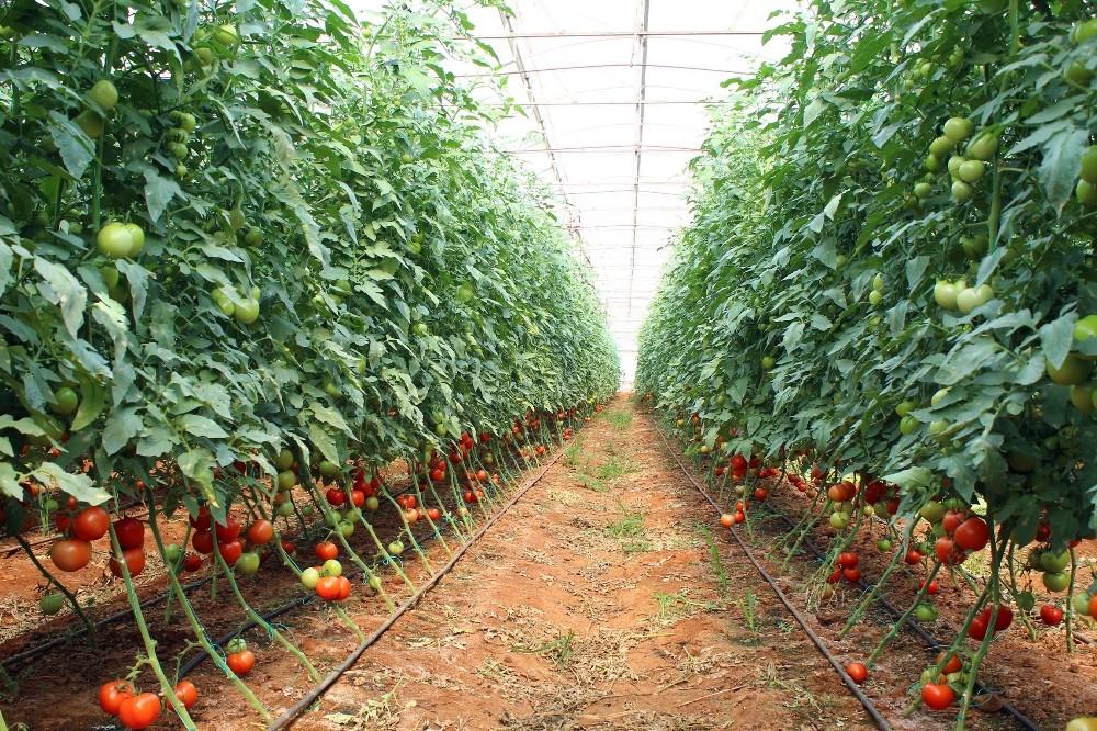 Antalya'da güzlük domates hasadı başladı