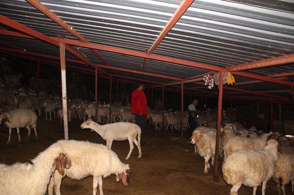 Koyun çalmaya çalışırken ağıl sahibinin baskınıyla neye uğradıklarını anlayamadılar