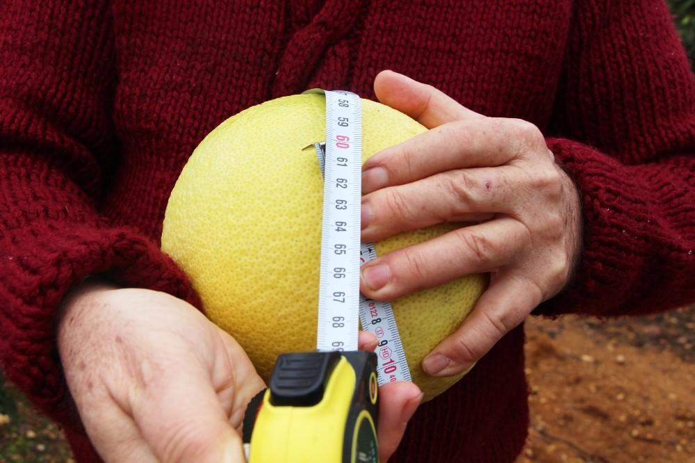 Ağacında yetiştirdiği 60 santimetrelik meyve görenleri hayran bıraktı