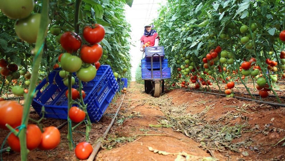 Irak pazarı daraldı, domates fiyatları düştü