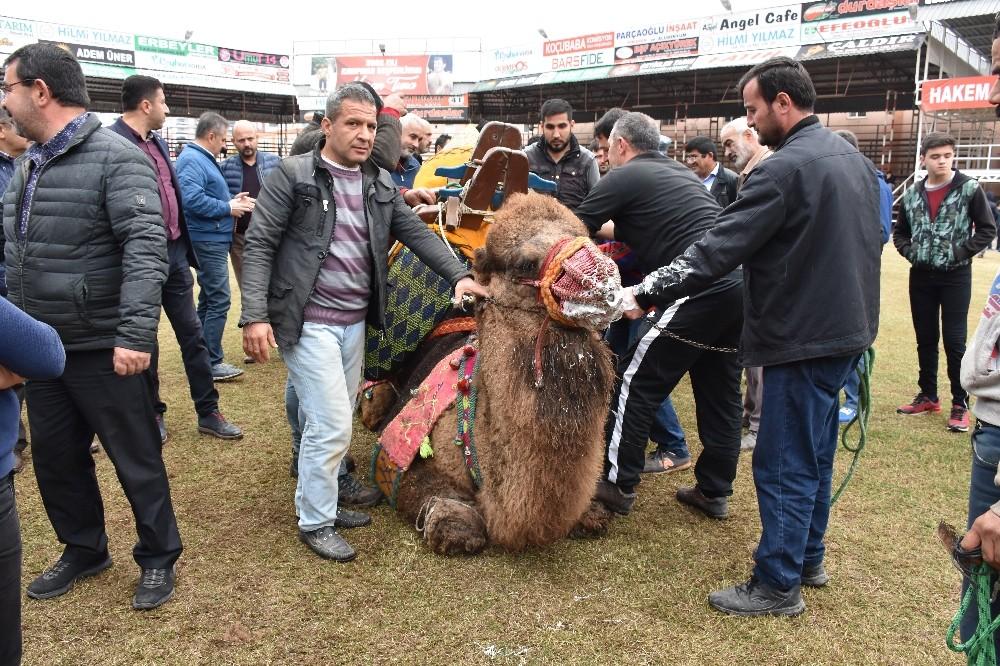 Kumluca'da develere havut giydirme töreni