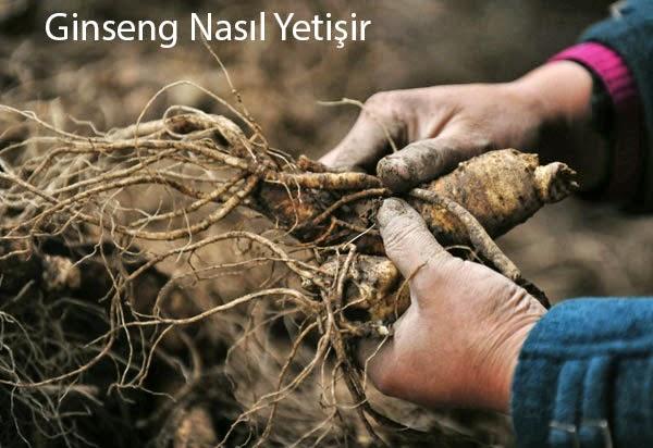 Ginsengin Faydaları Ve Üretim Yapan Firmalar